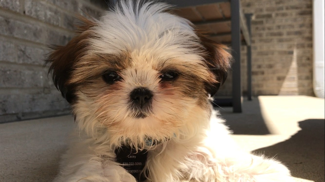 Female Shih Tzu