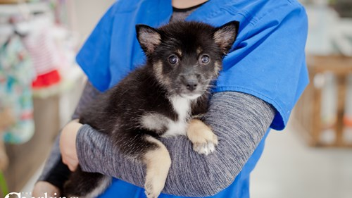 Grand Rapids Pomsky 2nd Gen Puppies for sale