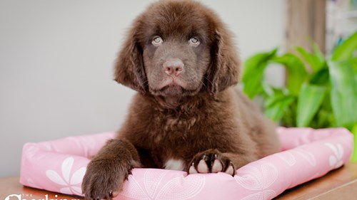 Grand Rapids Newfoundland Puppies for sale