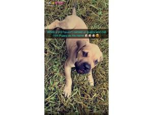 Puppy Bull Mastiff Missing Since: 10/15/2017. Ref: 1924123