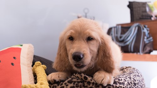 Grand Rapids Goldendoodle Puppies for sale