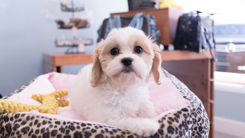 Grand Rapids Bichon Frise/cavalier King Charles Spaniel Puppies for sale