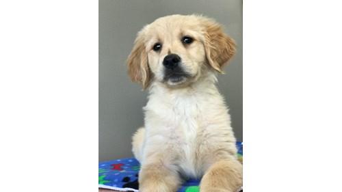 Grand Rapids Golden Retriever Puppies for sale
