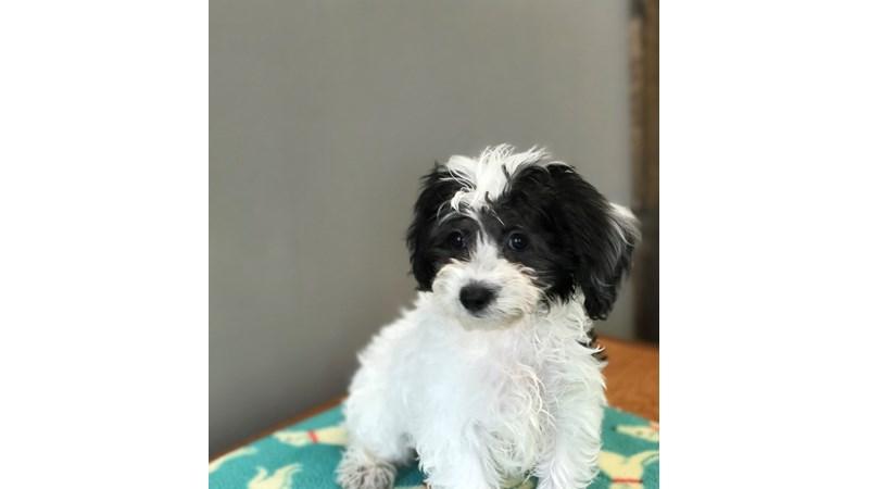 Grand Rapids Bichon Frise/havanese Puppies