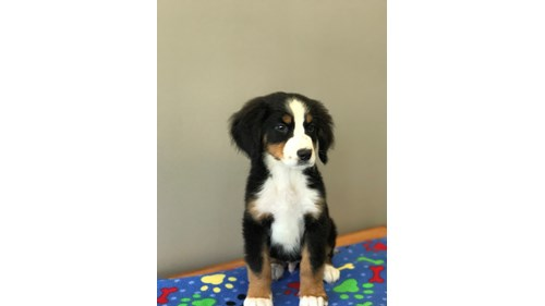 Grand Rapids Bernese Mountain Dog Puppies for sale