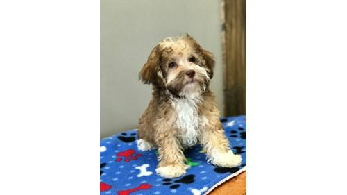 Grand Rapids Havanese Puppies for sale