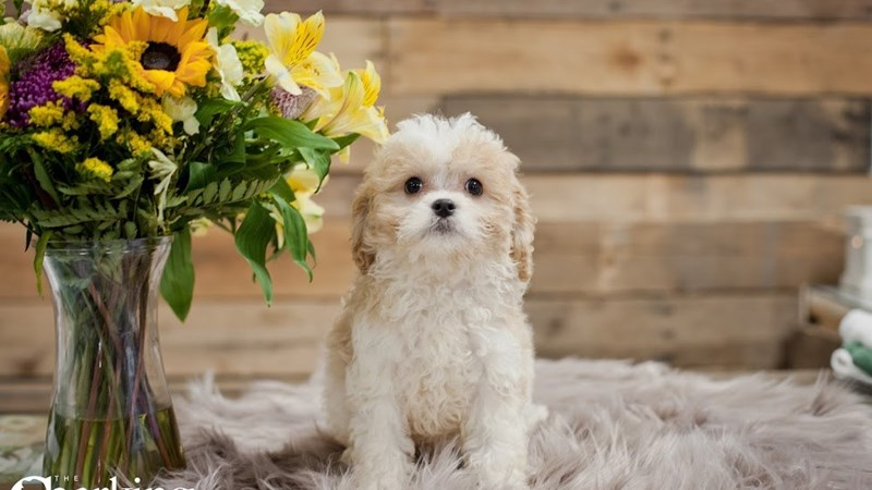 Grand Rapids Cavalier King Charles Spaniel/bichon Frise Puppies